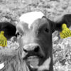 Photo: Calf with Combi Large yellow and Combi E30 Flag