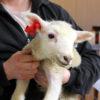 Photo: Lamb with Combi Mini red Combi E23 yellow
